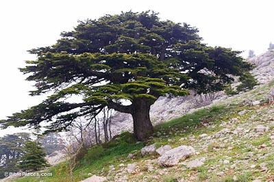 Cedar-of-Lebanon,-adr090510670-bibleplaces