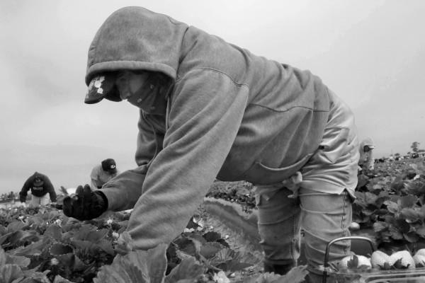 Immigrant Farm Workers Pick Strawberries in a Santa Maria Field