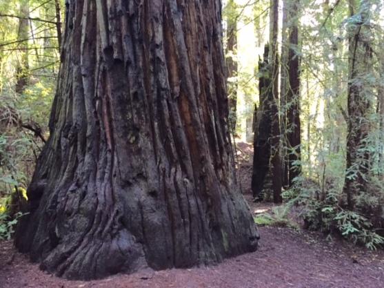 Redwoods2